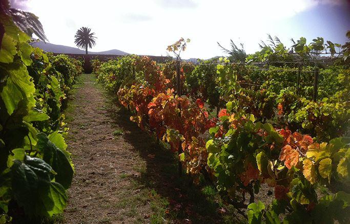vinos-de-gran-canaria-vegadegaldar-masmediacanarias-1