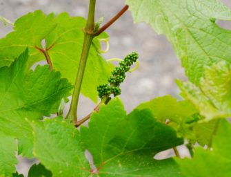 El sector del vino podrá acogerse a una serie de medidas de apoyo para amortiguar las pérdidas
