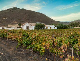Los vinos de Gran Canaria cierran este año convulso con motivos para la esperanza