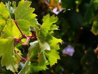Abierto el plazo hasta el próximo 18 de mayo para tramitar las subvenciones destinadas a la reestructuración y reconversión del viñedo en Canarias